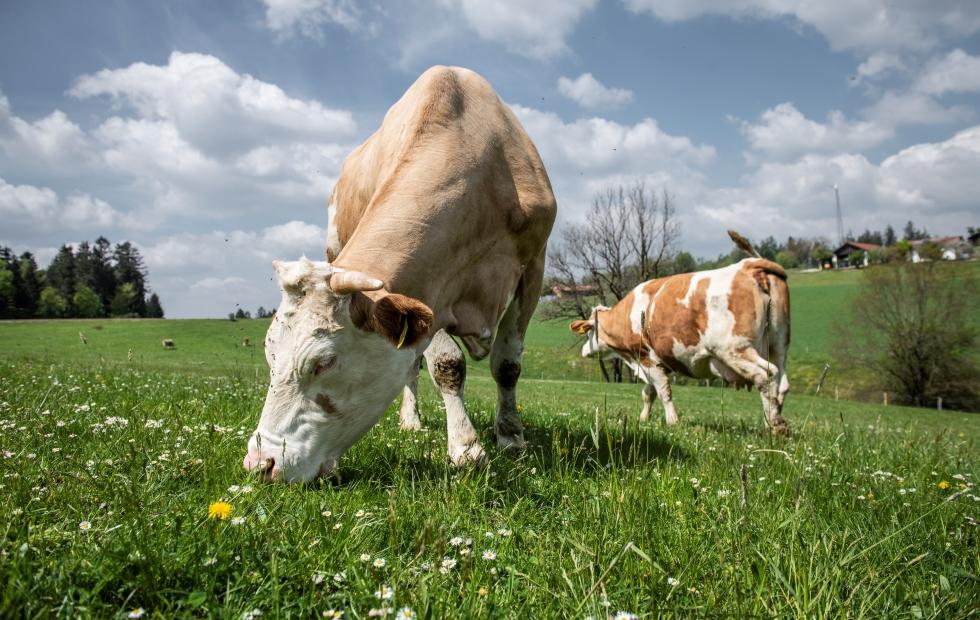 Eine Milchkuh auf der Weide.